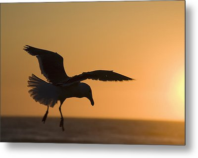 Silhouette Of A Seagull In Flight At Metal Print by Michael Interisano