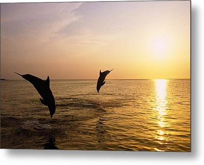 Silhouette Of Bottlenose Dolphins Metal Print by Natural Selection Craig Tuttle