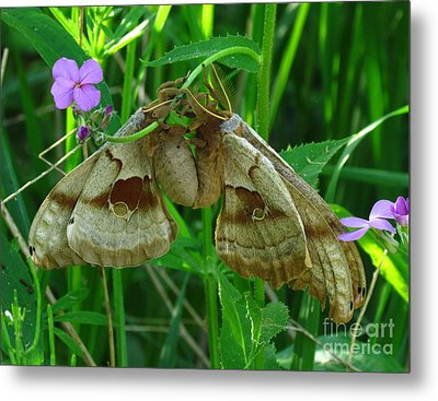 Silkmoth Love Metal Print by Deborah Johnson