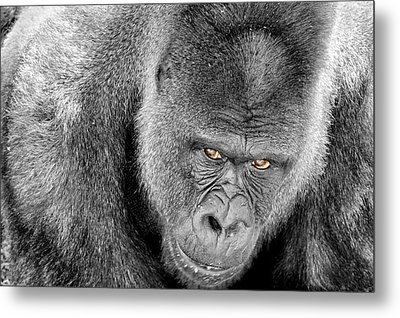 Metal Print featuring the photograph Silverback Staredown by Jason Politte