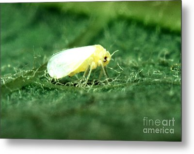 Silverleaf Whitefly Metal Print by Science Source