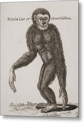 Simia Lar, Great Gibbon. Engraved By Metal Print by Ken Welsh