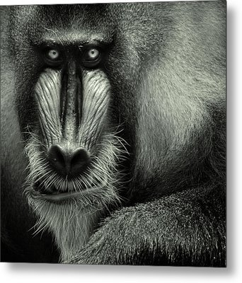 Singapore Zoo, Mandrill Metal Print by By Toonman