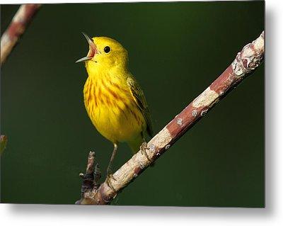 Singing Yellow Warbler Metal Print