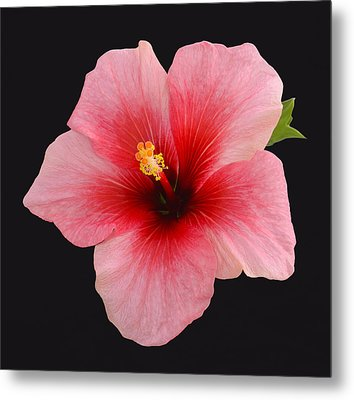 Single Hibiscus Flower On A Black Background Metal Print by Rosemary Calvert