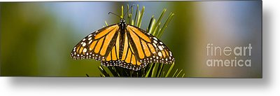 Single Monarch Butterfly Metal Print by Darcy Michaelchuk