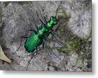 Six-spotted Tiger Beetles Copulating Metal Print