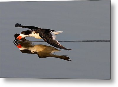 Skimming Run Metal Print by Phil Lanoue