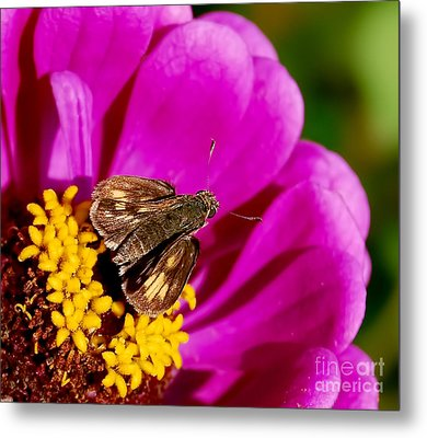 Skipper And A Pretty Flower  Metal Print by Alexandra Jordankova