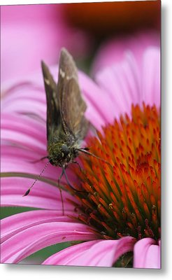 Skipper Butterfly Metal Print by Juergen Roth