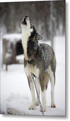 Sled Dog Howling Metal Print by Pete Ryan