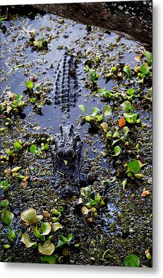 Sleepy Alligator Metal Print by Luis and Paula Lopez