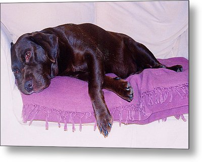 Metal Print featuring the photograph Sleepy Chocolate Labrador Hooch by Richard James Digance