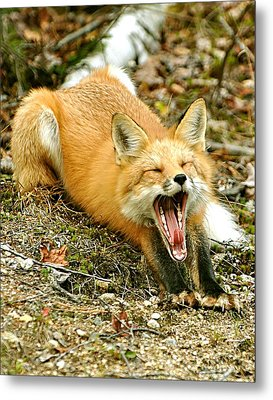Metal Print featuring the photograph Sleepy Fox by Rick Frost