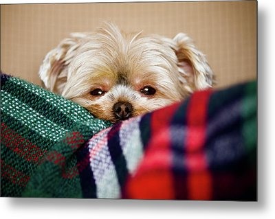 Sleepy Puppy In Blanket Metal Print by Gregory Ferguson