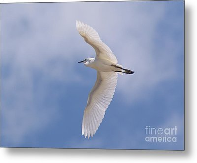Metal Print featuring the photograph Small Egret Flying Over The House by John  Kolenberg