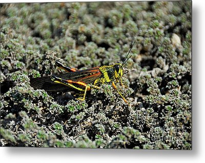 Small Painted Locust Metal Print by Sami Sarkis