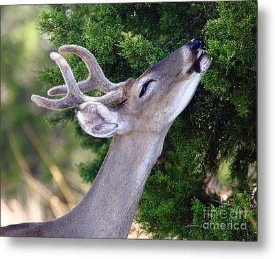 Smell Of Cedar In The Morning Metal Print by Robert Frederick