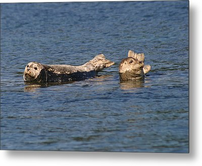 Smiling Seals Of Puget Sound Metal Print by Kym Backland