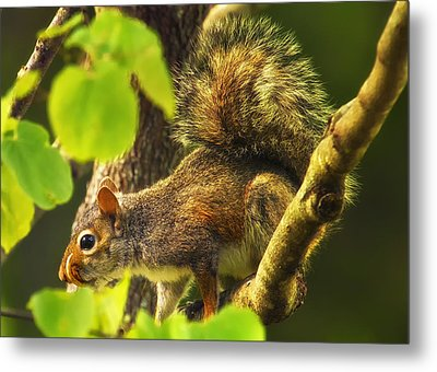 Snaggletooth Squirrel In Tree Metal Print by Bill Tiepelman