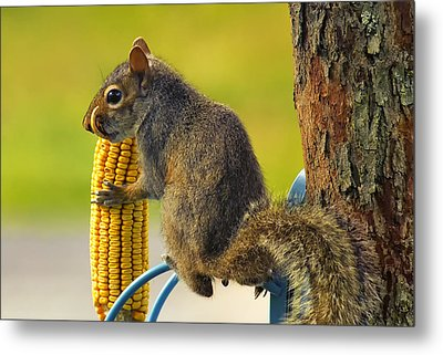 Snaggletooth Squirrel With Corn Metal Print by Bill Tiepelman