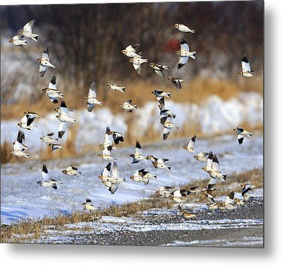 Snow Buntings Metal Print by Tony Beck
