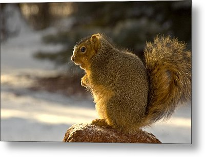 Snow Covered Squirrel Metal Print