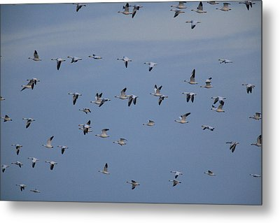 Snow Geese In Flight Metal Print by George Grall