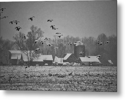 Metal Print featuring the photograph Snow Geese by Kelly Reber