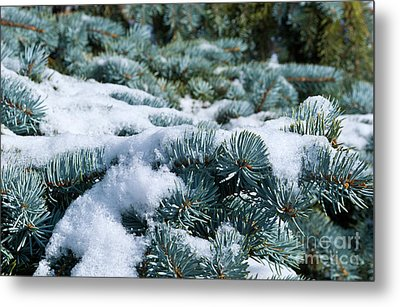Metal Print featuring the photograph Snow In The Pines by Charles Lupica