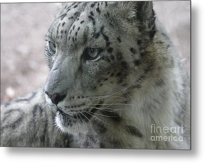 Snow Leopard Profile Metal Print by Chris Hill