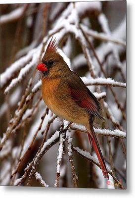 Snowbirds--cardinal Dsb025 Metal Print by Gerry Gantt