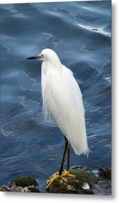 Snowy Egret 1 Metal Print