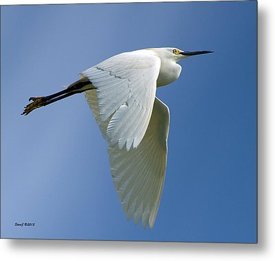 Snowy Egret Fly-by Metal Print