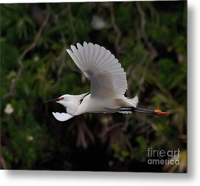 Snowy Egret In Flight Metal Print by Art Whitton