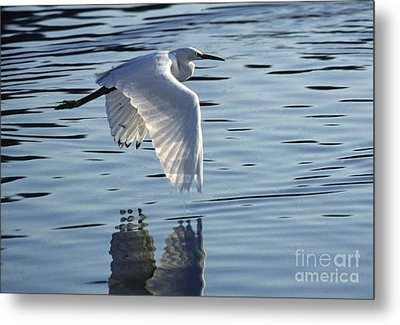 Metal Print featuring the photograph Snowy Egret In Flight by Craig Lovell