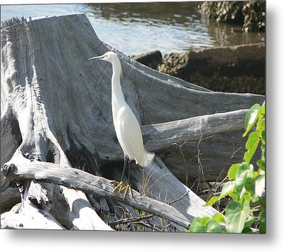 Metal Print featuring the photograph Snowy Egret by Laurel Best