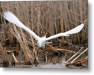 Metal Print featuring the photograph Snowy Egret Liftoff by Mark J Seefeldt