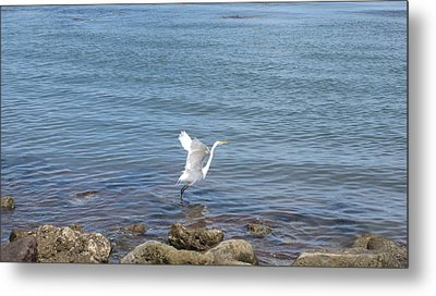 Metal Print featuring the photograph Snowy Egret by Marilyn Wilson