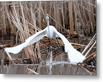 Metal Print featuring the photograph Snowy Egret Takeoff by Mark J Seefeldt