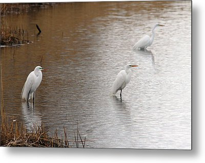 Metal Print featuring the photograph Snowy Egret Trio by Mark J Seefeldt