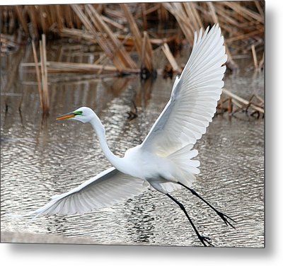 Metal Print featuring the photograph Snowy Egret Wingspan by Mark J Seefeldt
