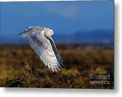 Snowy Owl 1b Metal Print by Sharon Talson