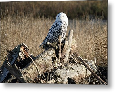 Snowy Owl At Boundary Bay B.c Metal Print by Pierre Leclerc Photography