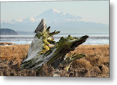 Snowy Owl In Boundary Bay With Mt Baker Metal Print by Pierre Leclerc Photography