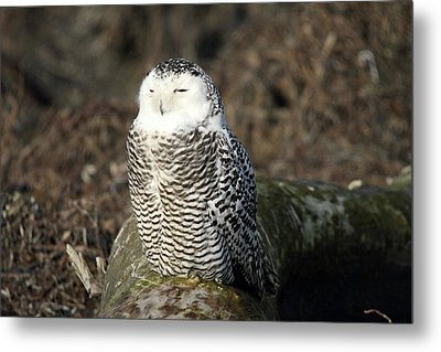 Snowy Owl  Metal Print by Pierre Leclerc Photography