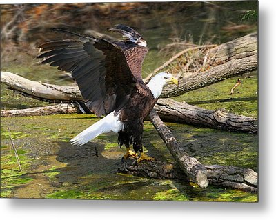 Metal Print featuring the photograph Soaring Eagle by Elizabeth Winter