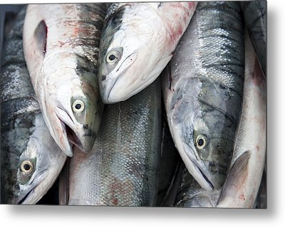 Sockeye Salmon Sit In A Pile Waiting Metal Print by Taylor S. Kennedy