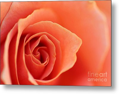 Soft Rose Petals Metal Print by Henrik Lehnerer