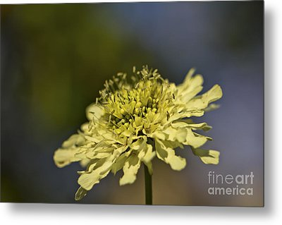 Metal Print featuring the photograph Soft Yellow. by Clare Bambers